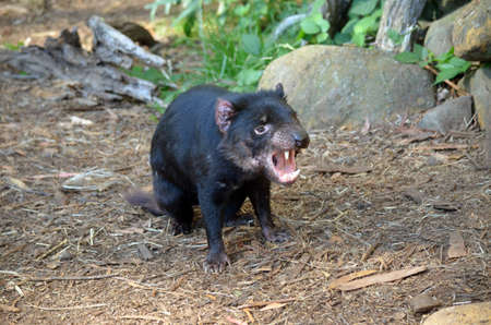 snarl: the tasmanian devil is letting out a long snarl Stock Photo