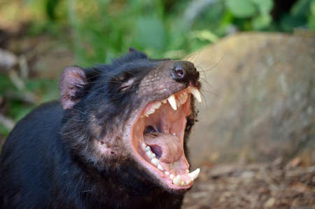 devil: the tasmanian devil is letting out a long snarl Stock Photo