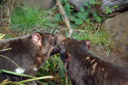 tasmanian: the two tasmanian devils are having a fight