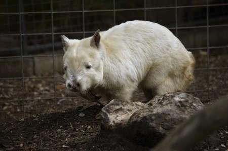 wombat: Esta es una vista lateral de un wombat albino