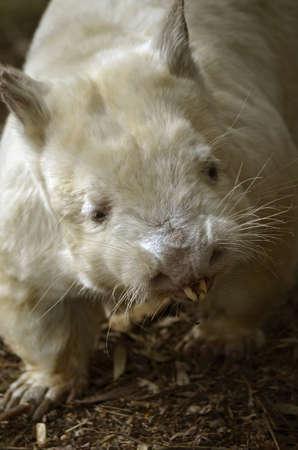 wombat: Este es un primer plano de un wombat albino