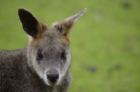 necked: this is a close up of a red necked wallaby
