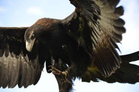 이것은 날개가 열려있는 쐐기 꼬리 독수리이다.