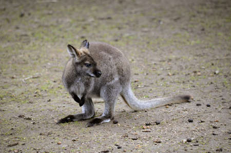 joey: this is a joey wallaby looking for his mother Stock Photo