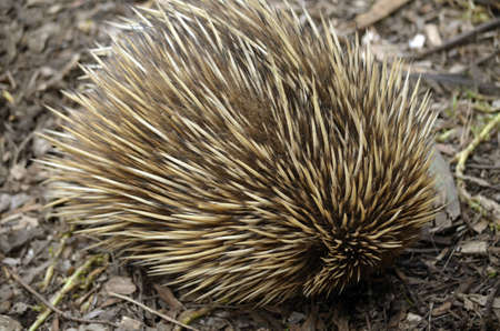 echidna: the echidna has rolled itself up for protection