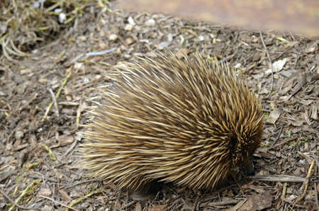 echidna: the echidna is walking with its nose in the ground looking for food Stock Photo