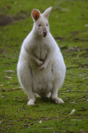 wallaby: the male albino kangaroo is standing on its hind legs