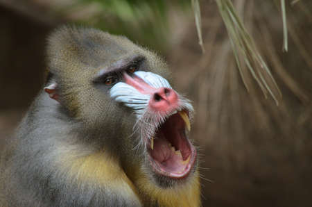 mandrill: this is a close up of a mandrill Stock Photo