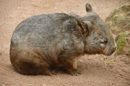 wombat: el wombat olfateado melenudo est� vagando en la arena roja