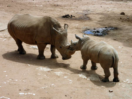 rubbing noses: the mother and son rhinoceros are rubbing noses