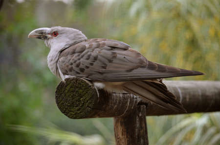 billed: this is a side view of a channel billed cuckoo Stock Photo