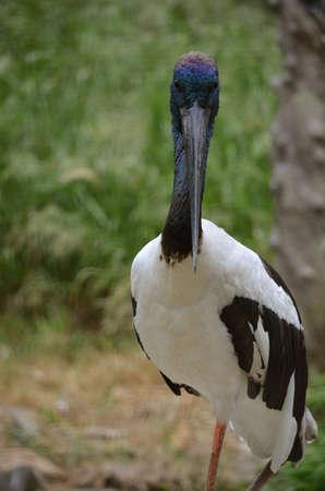 necked: Dit is een close up van een blauwe hals ooievaar