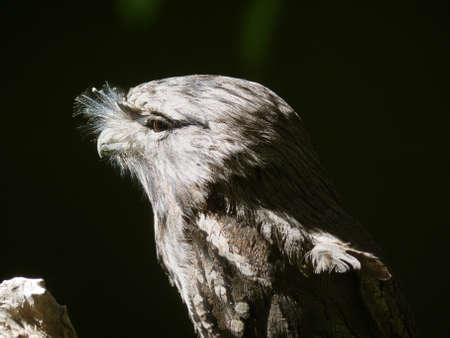 tawny: the tawny frogmouth hides in the shade