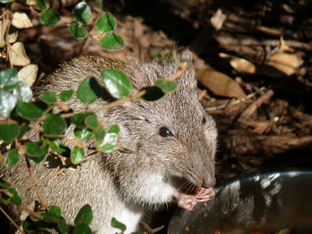 this is a long nosed potoroo eating Stock Photo - 21559139