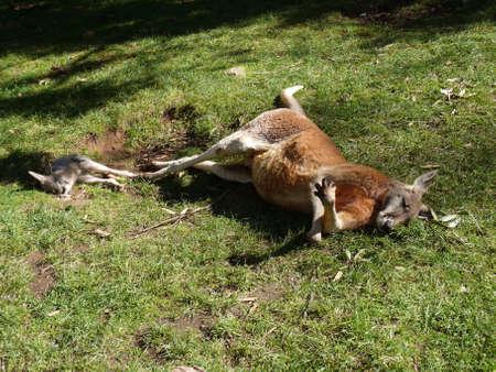 joey: the joey and its father kangaroo are sleeping