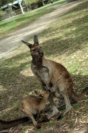the kangaroo is just about to feed her Joey photo
