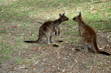 sniffing: two kangaroos meeting and sniffing each other