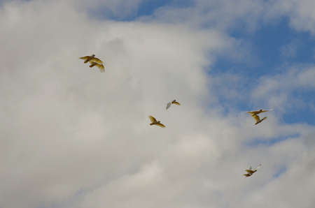 cockatoos: the flock of sulphur crested cockatoos are flying on a cloudy day Stock Photo