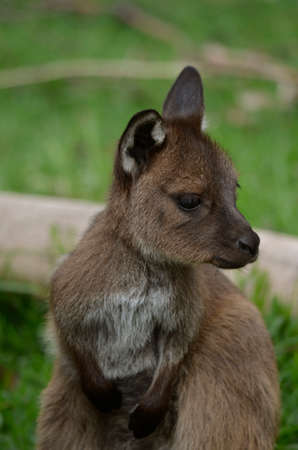 joey: this is a close up of a joey kangaroo