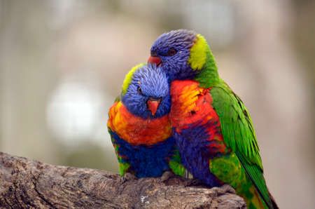 the two rainbow lorikeets are preening themselves Stock Photo - 22348244