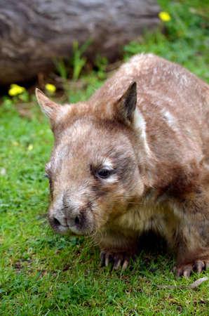 wombat: este es un primer plano de un wombat olfateado melenudo