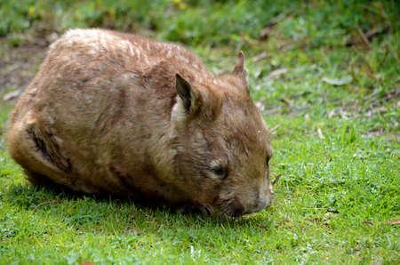 wombat: tapar el disparo de un comer hierba wombat