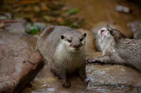 small clawed: the oriental small clawed otter is standing on rocks