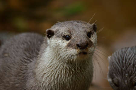 small clawed: this is a close up  of a small clawed oriental otter