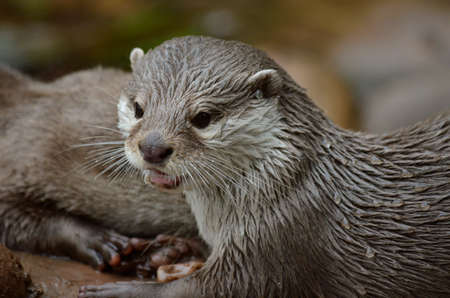 clawed: this is a close up  of a small clawed oriental otter