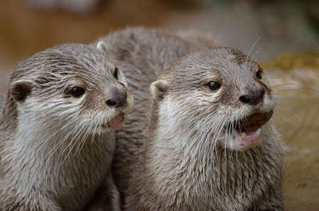 clawed: this is a close up  of two small clawed oriental otters