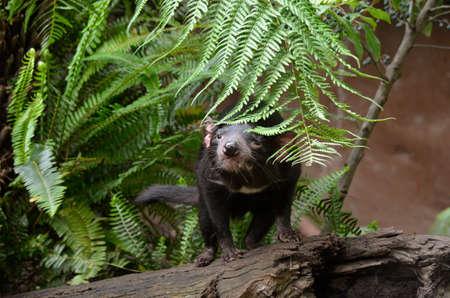 tasmanian: tasmanian devil is hiding behind the fern Stock Photo