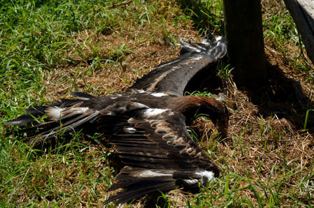 wing span: the eagle is spread out resting in the hot sun