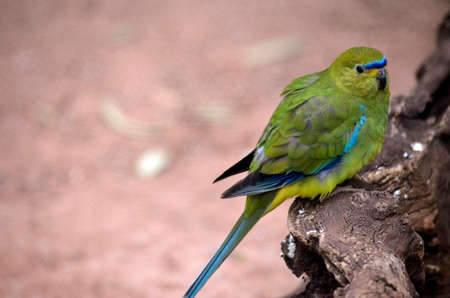 bellied: orange bellied parrot is perched on a log