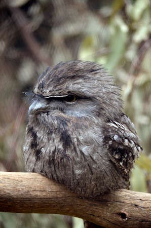 tawny: This is a close up of a tawny frogmouth
