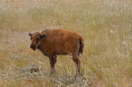 this is a young bison calf walking in a field