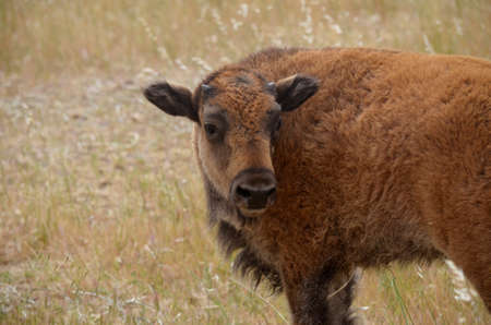 this is a close up of a bison