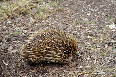 echidna: This echidna  ant eater is looking for some ants to eat