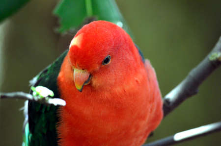 king parrot: this is a close up of an Australian king parrot Stock Photo