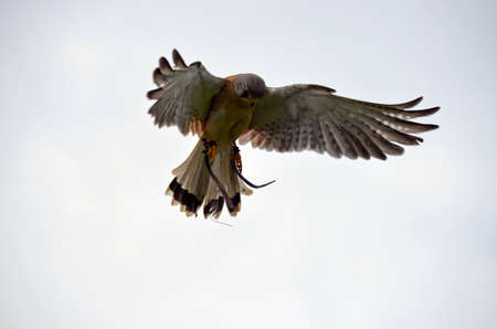circling: the nankeen australian kestrel is cicling in the air over its prey