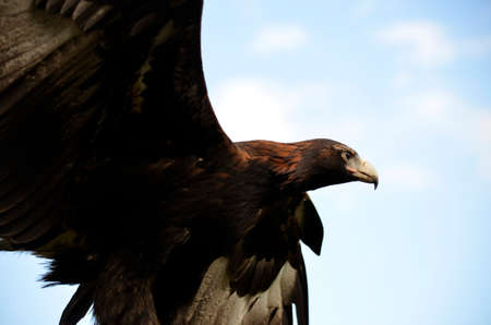 wing span: the wedge tailed eagle has his wings outstretched Stock Photo