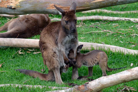 animal pouch: the kangaroo is feeding her baby joey Stock Photo