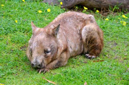 wombat: el wombat está sentando descansando en la hierba caliente