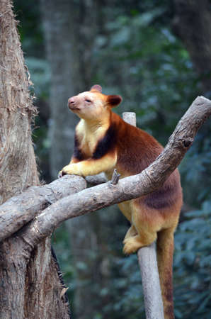 the tree kangaroo climbs high in the forest Stock Photo