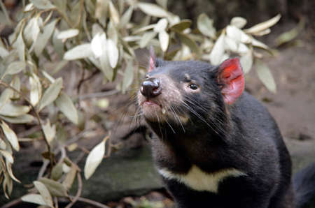 this is a close up of a Tasmanian devil Stock Photo - 33981326