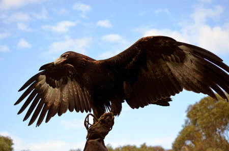 wing span: this wedge tailed eagle has his wings outstretched