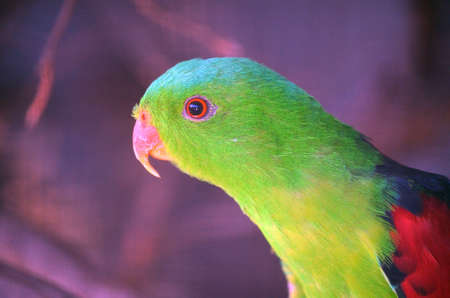 shouldered: this is a close up of a red shouldered parrot