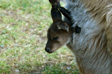animal pouch: the joey kangaroo is sticking out of the moms pouch Stock Photo