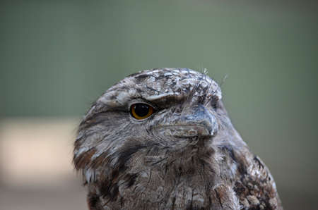 tawny owl: this is a close up of a tawny frogmouth