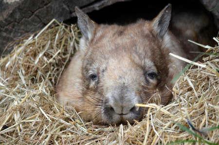warren: the wombat is resting in the entrance of his warren