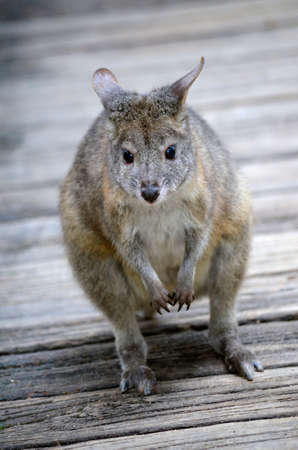 necked: this is a close up of a red necked pademelon